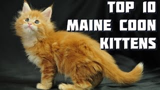 Top 10 Maine Coon Kittens - Vote for the best Maine Coon Kitten