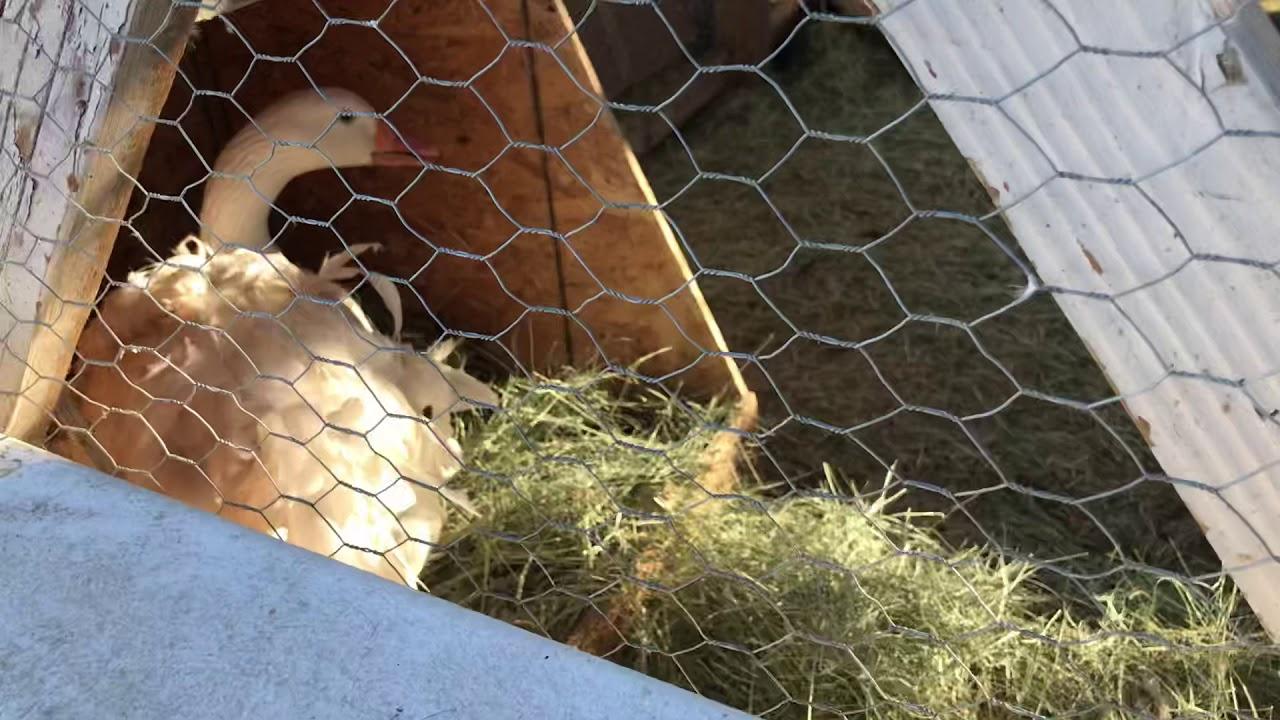 My Sebastepol geese are laying finally!