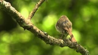 ウグイス 01 さえずり Japanese Bush Warbler 01 song (Horornis diphone)