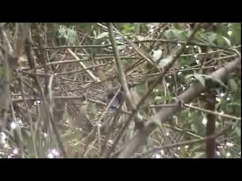 Birds of Venezuela: Jet Antbird- Cercomacra nigricans