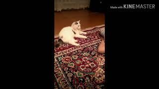 Кот Лев бесится перед сном. (Смешной кот)