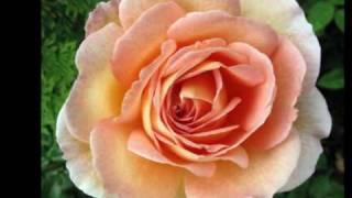 Rose 2009: Enya,China Rose