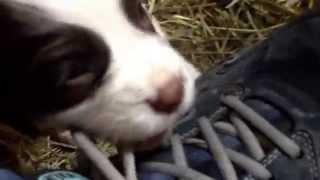 5 Week Old English  Springer Spaniel Puppies