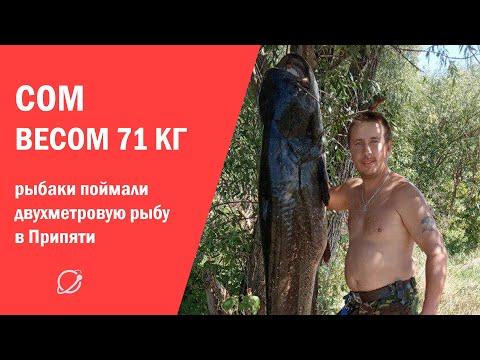 Сом на 71 килограмм: рыбаки выловили гигантскую рыбу в Припяти