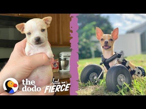 Teeniest 2-Legged Puppy Is A Christmas Miracle | The Dodo Little But Fierce