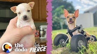 Teeniest 2-Legged Puppy Is A Christmas Miracle | The Dodo Little But Fierce
