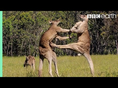The Greatest Fights In The Animal Kingdom | Top 5 | BBC Earth