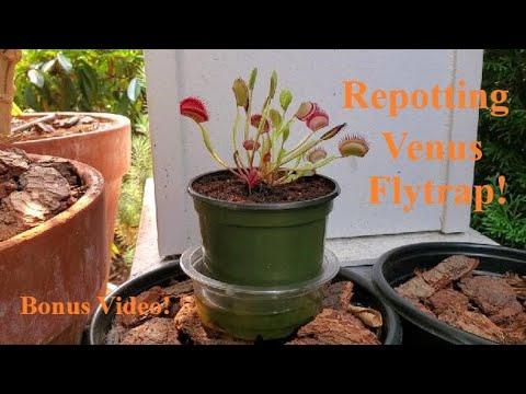 Download Repotting A Venus Flytrap!