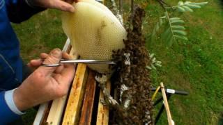 Capture et recolte d'essaim d'abeilles, 1 Juin 2010.