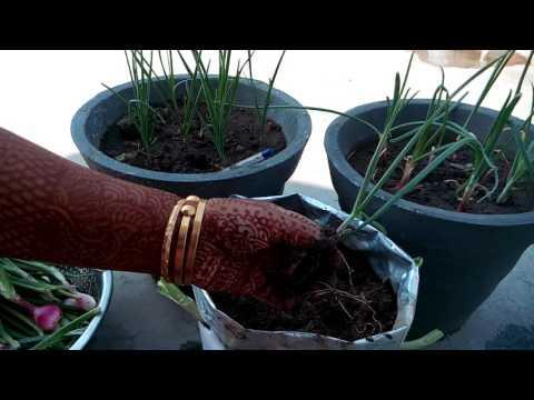 175 - Different  Style.. Growing Onions/PIYAJ & Garlic/LEHESUN (Hindi /Urdu) 20/10/16