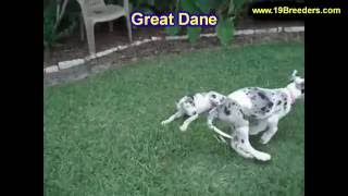 Great Dane, Puppies For Sale, In, San Antonio, Texas, Tx, Pasadena, Brownsville, Grand Prairie, Lare