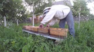 Пчеловодство Раздача Маточников в Нуклеусы