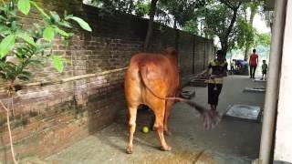 Big Cow Qurbani Bangladesh-2016, Part-2