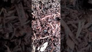kırmızı kalifornia solucan yumurtaları