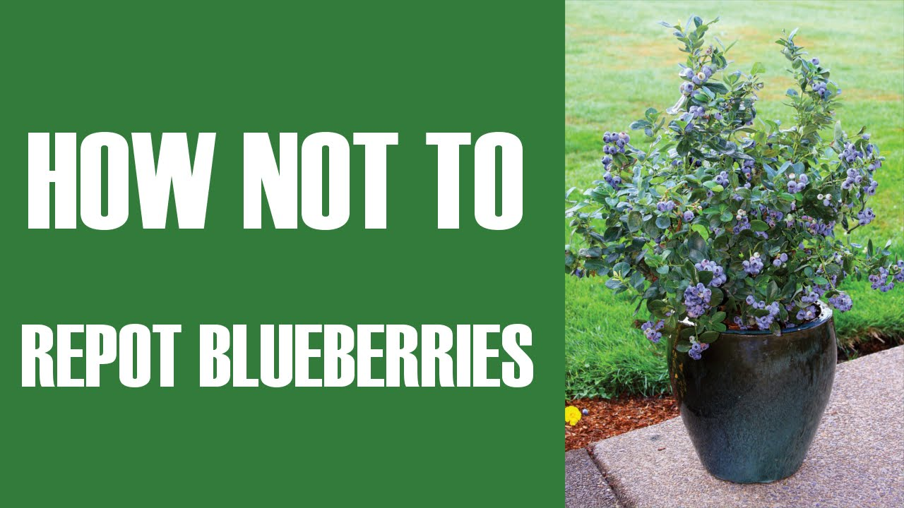How Not To Comedy Repot Blueberries In Pots Youtube