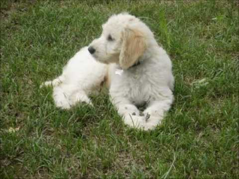 Goldendoodle timelapse from puppy to dog