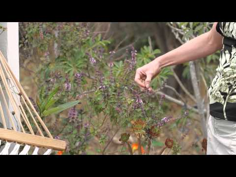 How to Prune a Basil Bush : Green Savvy