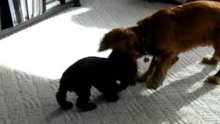 English Cocker Spaniel Puppy Playing