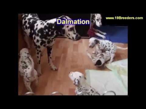 Dalmatian, Puppies, Dogs, For Sale, In Albuquerque, New Mexico, NM, 19Breeders, Rio Rancho