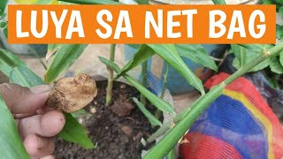 Paano magtanim ng luya sa net bag | How to plant ginger in net bag (container gardening at home)