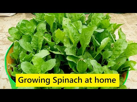 How to grow Spinach at home in Terrace Garden / Growing palak greens / Home gardening in Tamil Nadu
