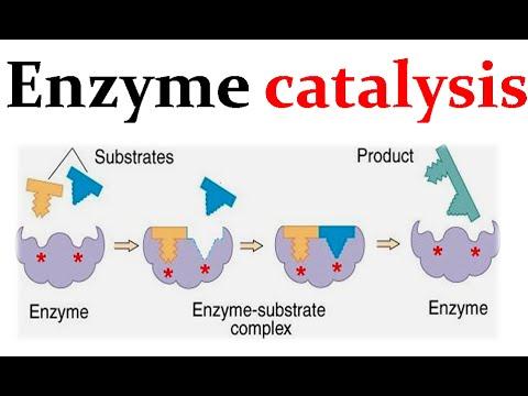 Enzyme Catalysis Mechanism