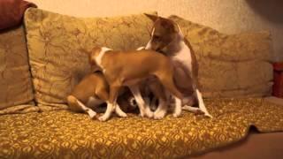Весёлые щенки басенджи 2