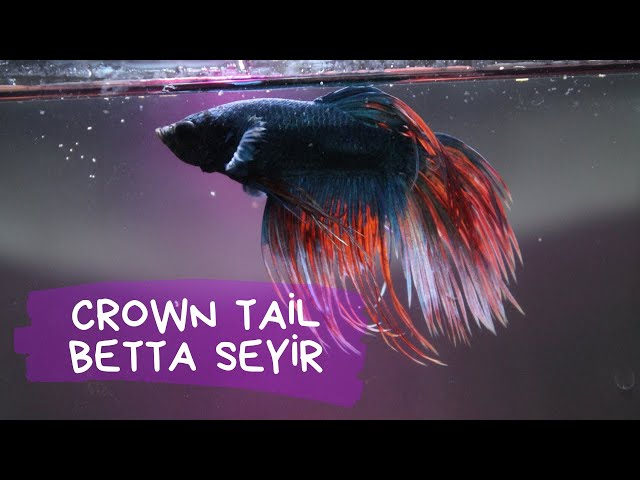 Betta Seyir (Betta splendens - Kavgacı Siyam Balığı) #2