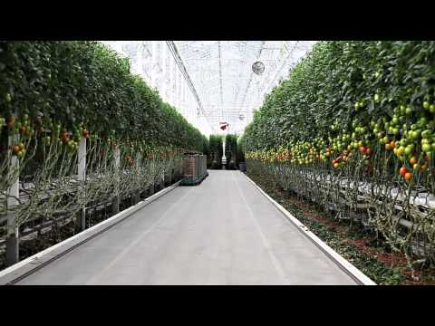 chefdbrown visiting the greenhouse at Village Farms Tomatoes