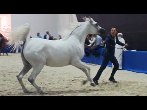 أجمل الخيول العربية الأصيلة بالمعرض الدولي بدبي     DUBAI INTERNATIONAL HORSE FAIR 2021 🐎♥