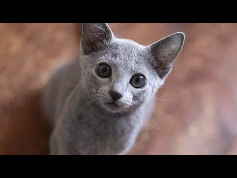 Sweet Russian Blue Cat Compilation 2020