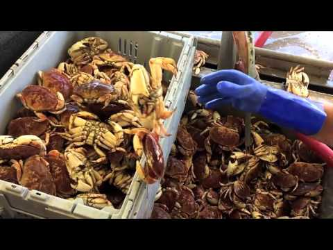 Cape Cod Crabs Being Unloaded - HD Slo-mo