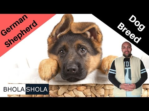 Dog Breed - Know About German Shepherd - Bhola Shola