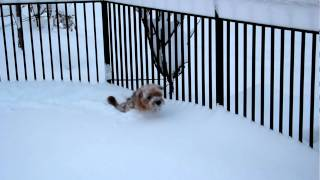Cute Poodle/terrier Plays In Snow