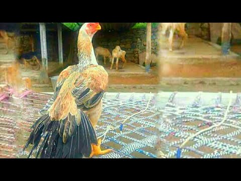 Breeder Aseel Rooster parrot Nose Black Tail by Pigeon and Aseel fighter