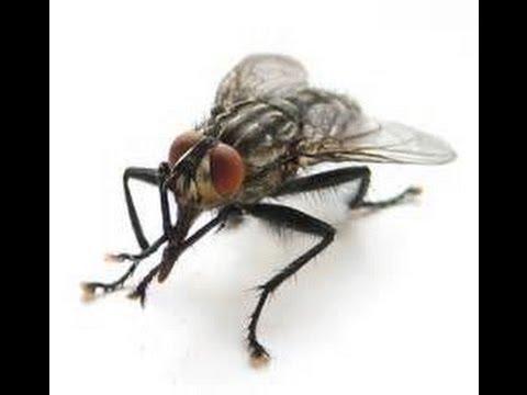 Как сделать ловушку для мух в домашних условиях