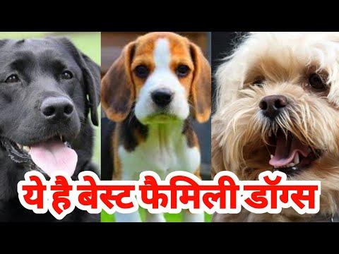 बेस्ट क्वालिटी Labrador beagle and Lhasa apso ye hai sabhi family dogs