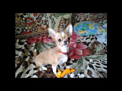 ❤Чихуахуа Нюра на природе, на пикнике \ Chihuahua in nature, picnic❤из YouTube · С высокой четкостью · Длительность: 3 мин38 с  · Просмотров: 227 · отправлено: 27.05.2016 · кем отправлено: СУНДУЧОК от СВЕТЛАНЫ