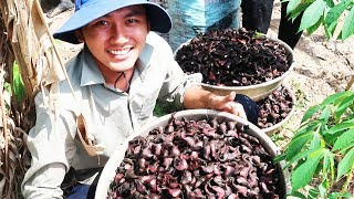 HÁI ẤU - PICKING and EATING WATER CALTROP SWEET SOUP| Viet Nam Travel