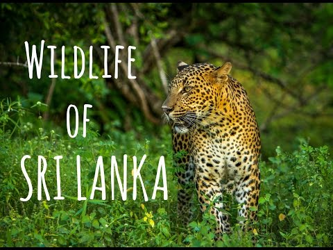 Sri Lanka's Wildlife has Leopards, Elephants and Crocodiles (Safari)