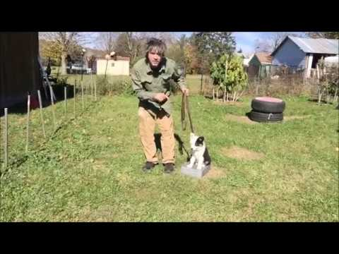 How to train Puppy Sit is a Implied stay