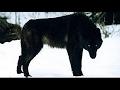 [New] HD - وثائقى - أنثى الذئاب ملكة يلوستون - عالم الحيوانات المفترسة HD