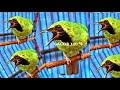 Suara Pancingan Cucak Ijo Bakalan Agar Gacor  Mp3 - Mp4 Download