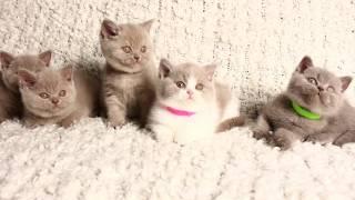 Смешные котята (британцы)