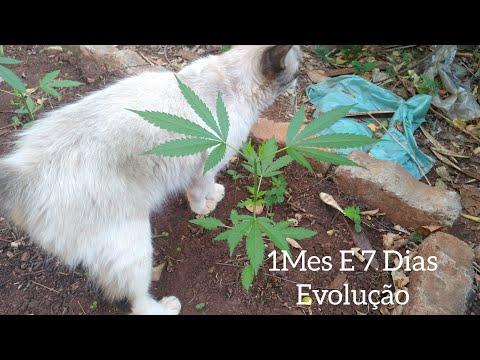 marijuana-37-dias-de-vida-cannabis-natural-#103-(-gordÃo-thc-)
