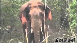 Elephant in Hosur after 18 days caught finally - Dinamalar Video News