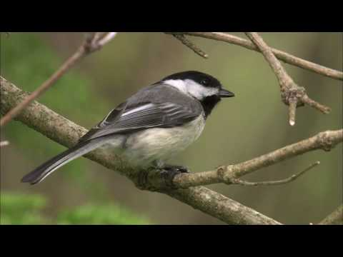 Black-capped Chickadees at the Feeder