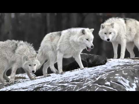 3 Unfounded Myths About Wolves