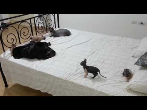 Amazing Sphynx Cat Breeding