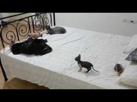 Amazing Sphynx Cat Breeding